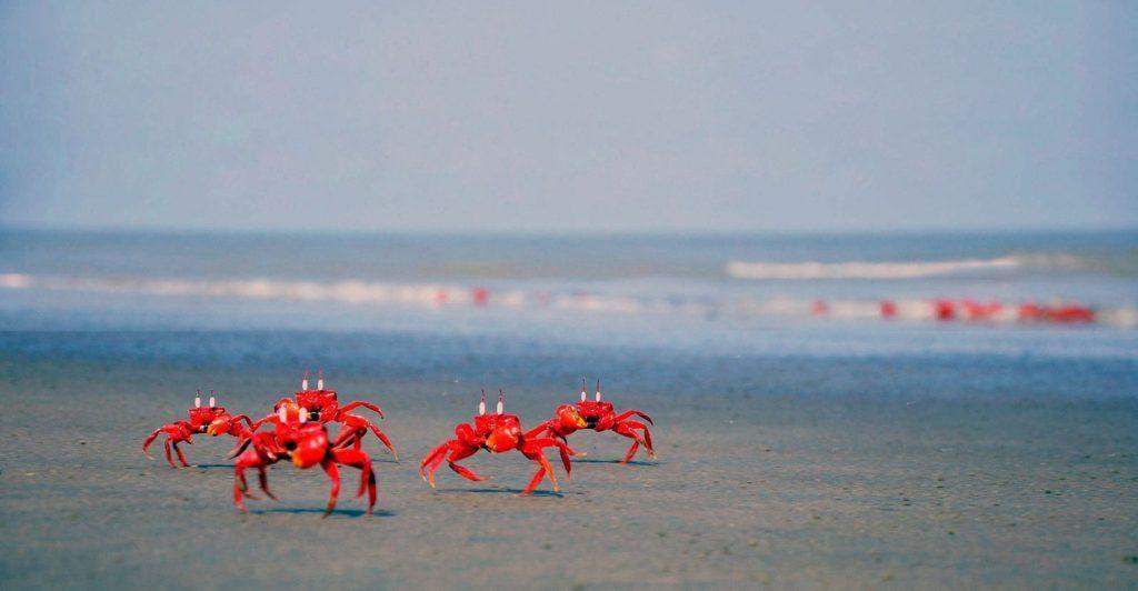 Red Crabs in cox's bazar beach